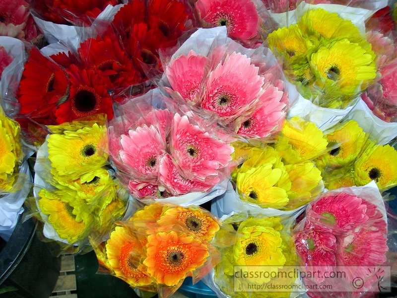bunches-of-pink-yellow-red-gerbera-daisies-picture2015.jpg