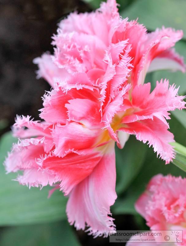 closeup-picture-pink-carnattion-flower-5609.jpg