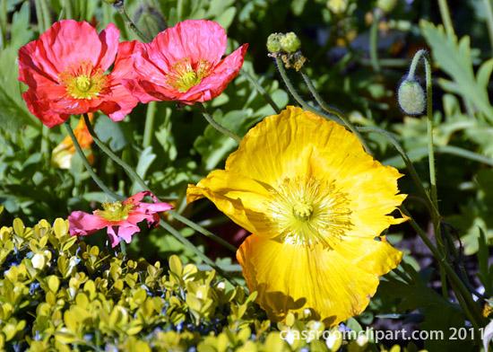 iceland_poppy_flower_closeup.jpg
