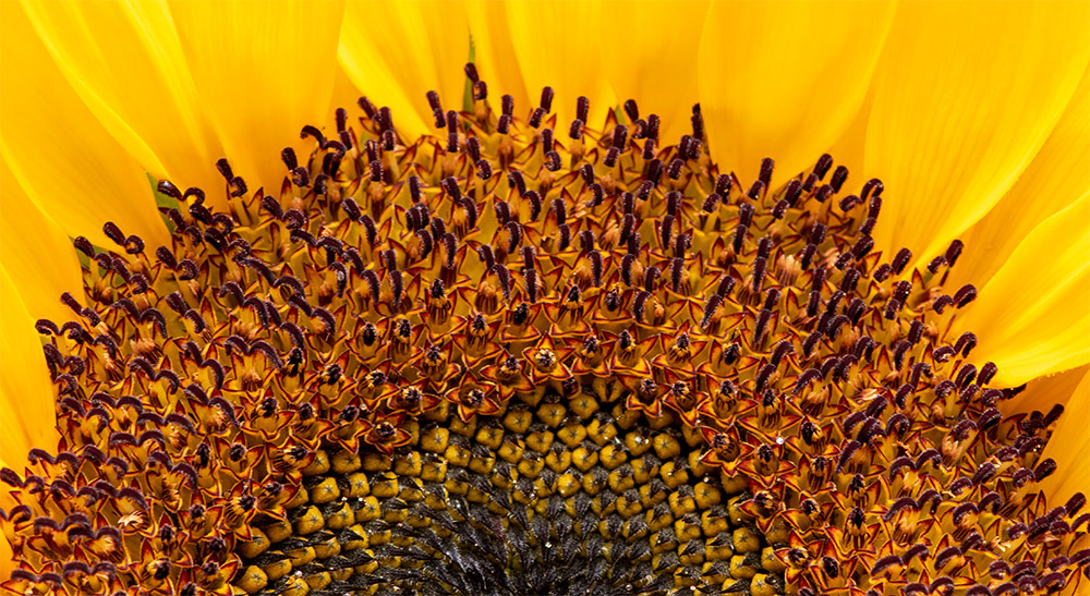large yellow sunflower with bright background 85060902.jpg