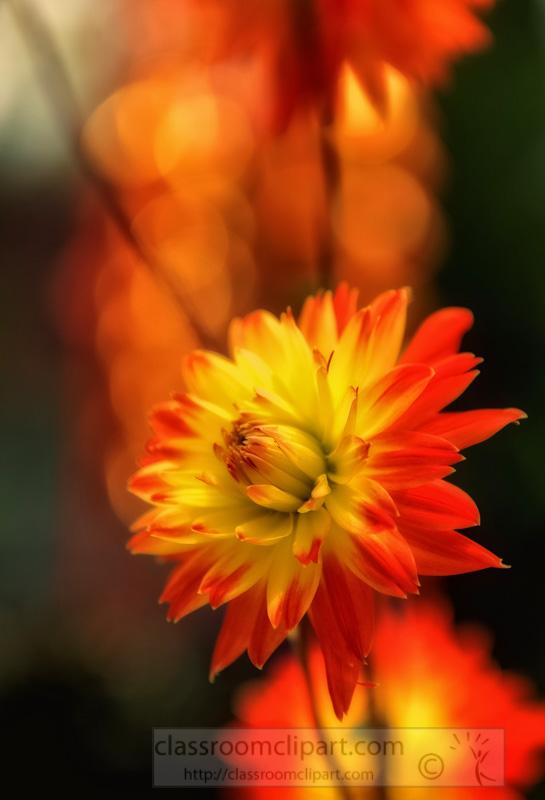 orange-yellow-dahlia-flowers-in-bloom-photo-image-9150Aaa-Edit.jpg