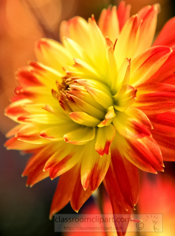 orange-yellow-dahlia-flowers-in-bloom-photo-image-9150Ab.jpg