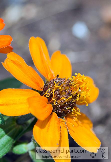 orange_zinnia_flower_349.jpg