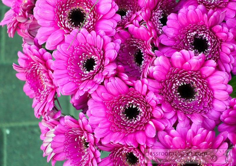 picture-dark-pink-gerbera-daisy-flower-24062.jpg