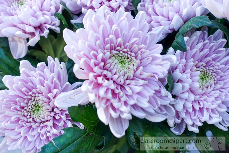 picture-light-purple-crysanthemum-flower-408bc.jpg