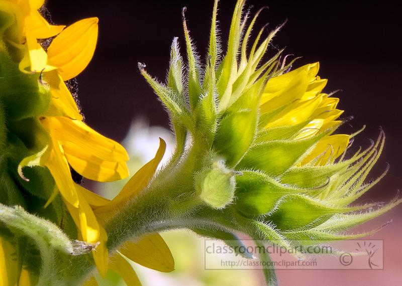 picture-sunflowers-closeup-image663c.jpg
