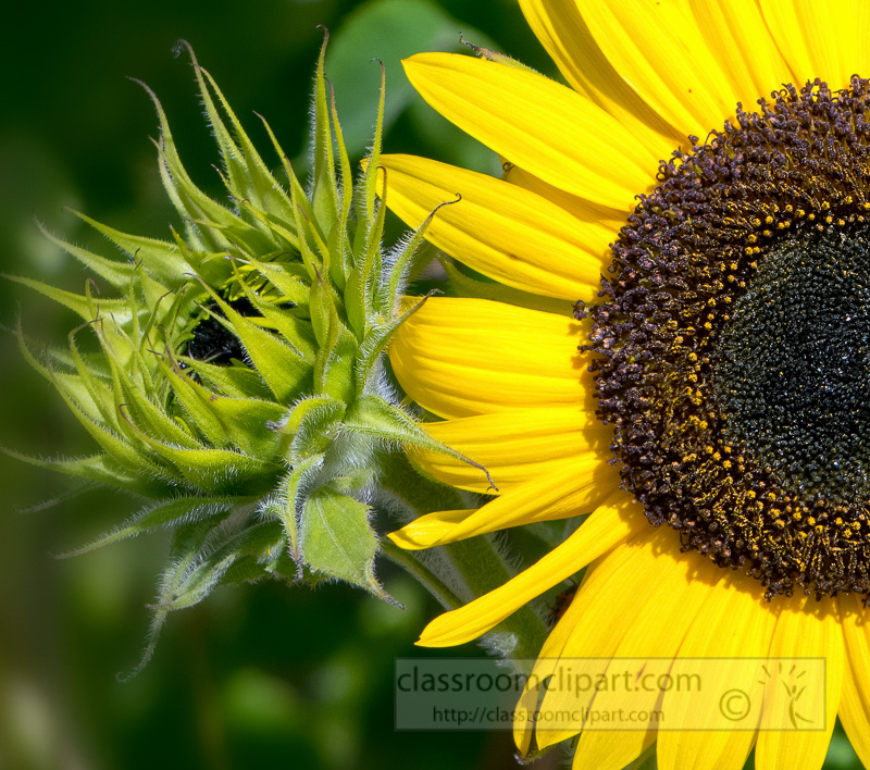 picture-sunflowers-with-new-flower-bud-image-1662-1.jpg