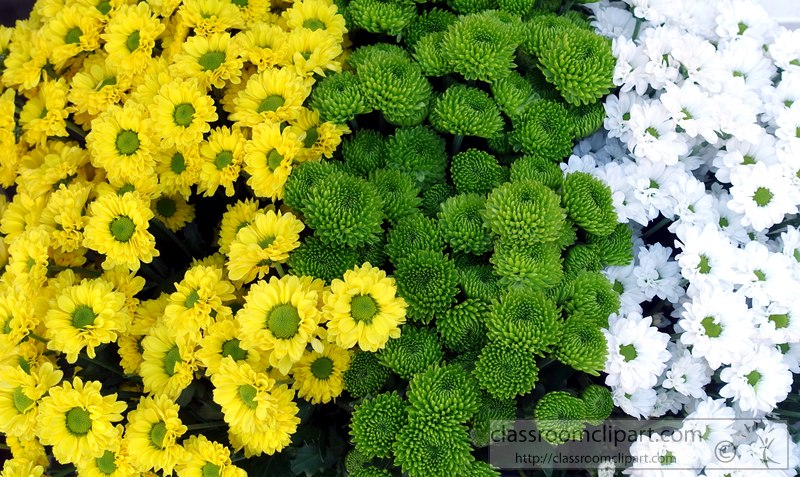 picture-yellow-white-daisy-green-daisy-flower-2.jpg