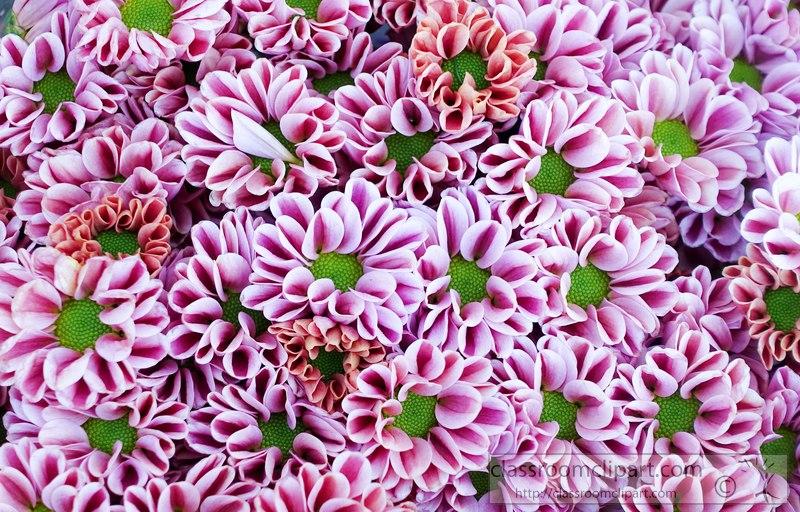purple-green-daisy-pompom-flower-image-2417AA.jpg