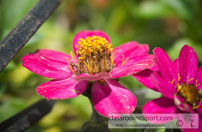 purple_zinnia_flower_357.jpg