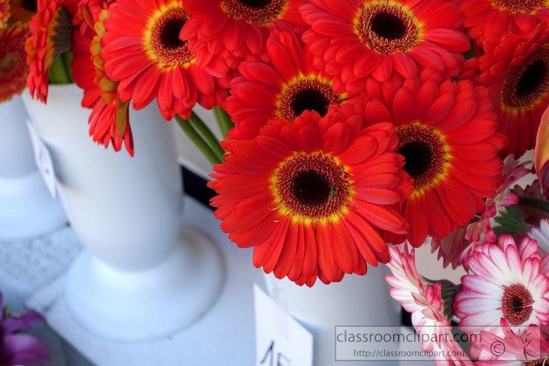 red-gerbera-daisies-image-2430A.jpg