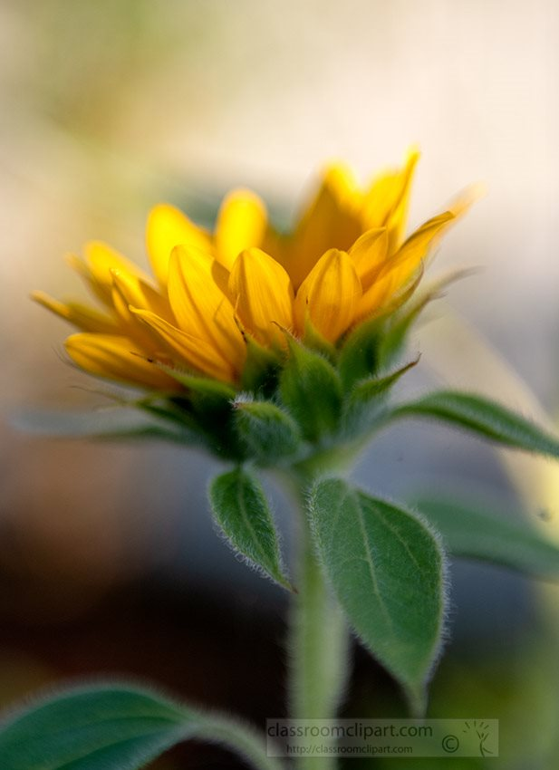 side-view-sunflower-during-sunset-photo-05456a.jpg