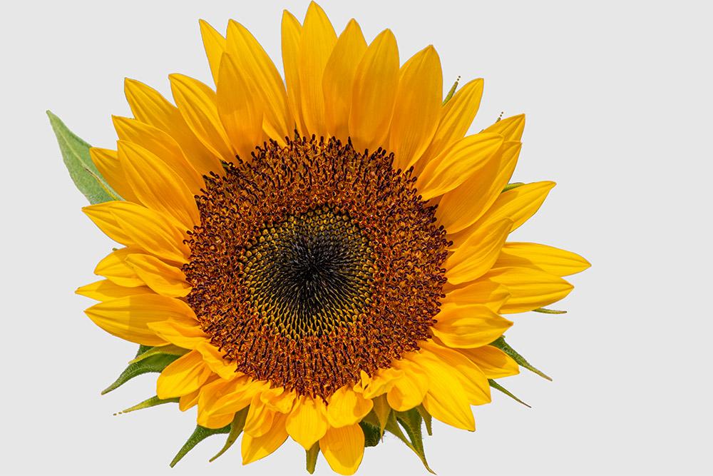 single large closeup of sunflower white background.jpg