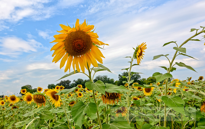 sunflower-growing-in-field-cloudy-sky-photo-image-4471AE.jpg