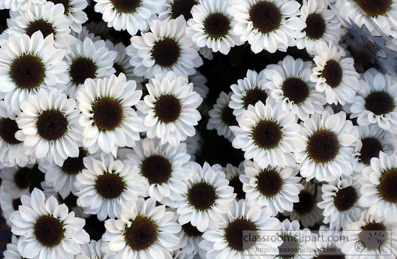 Flowers Clipart White Daisy Black Center Flower Image 2428aa