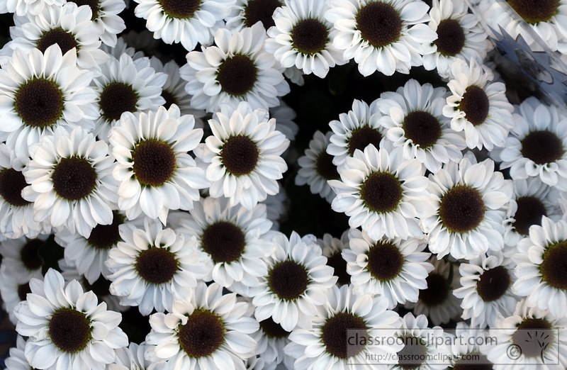 Flowers clipart white daisy black center flower image 2428aa white daisy black center flower image 2428aag mightylinksfo