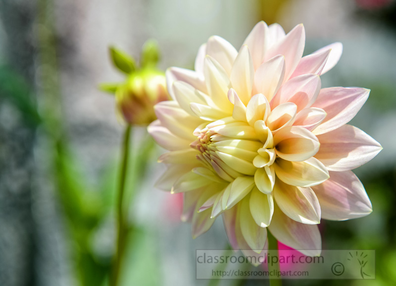 white-pink-dahliia-flowers-in-bloom-photo-image-9184-Edit-Edit.jpg