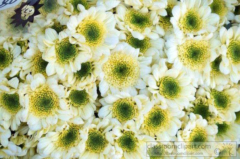 white-yellow-green-apple-pompon-flower-image-2416v.jpg