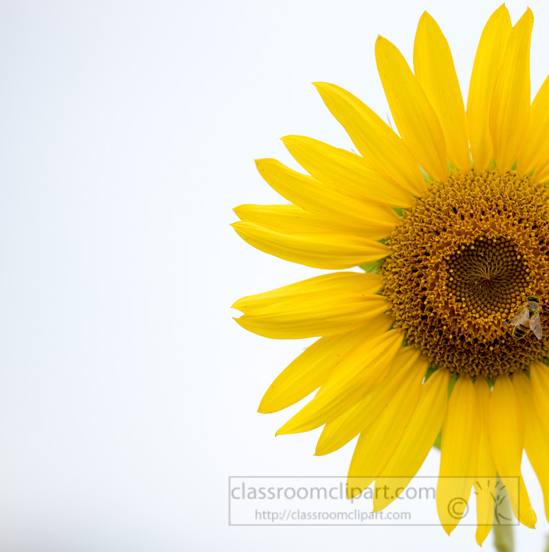 yellow-sunflower-with-white-background-photo_4619-2.jpg