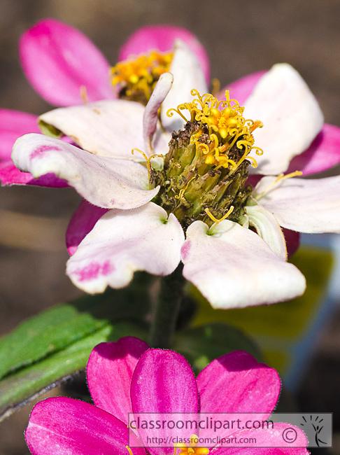 zinnia_flower_350.jpg