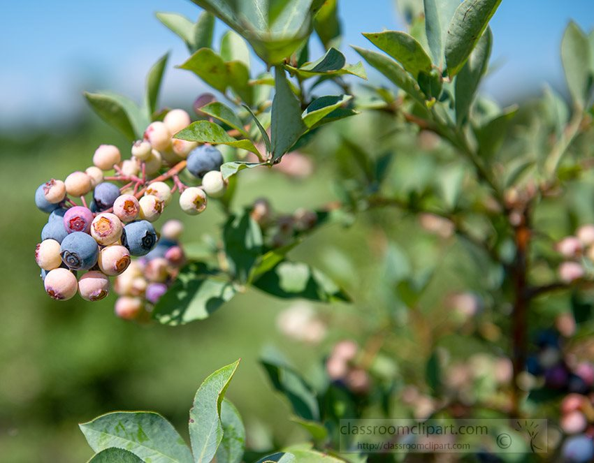 blueberries-growing-at-you-pick-orchard.jpg
