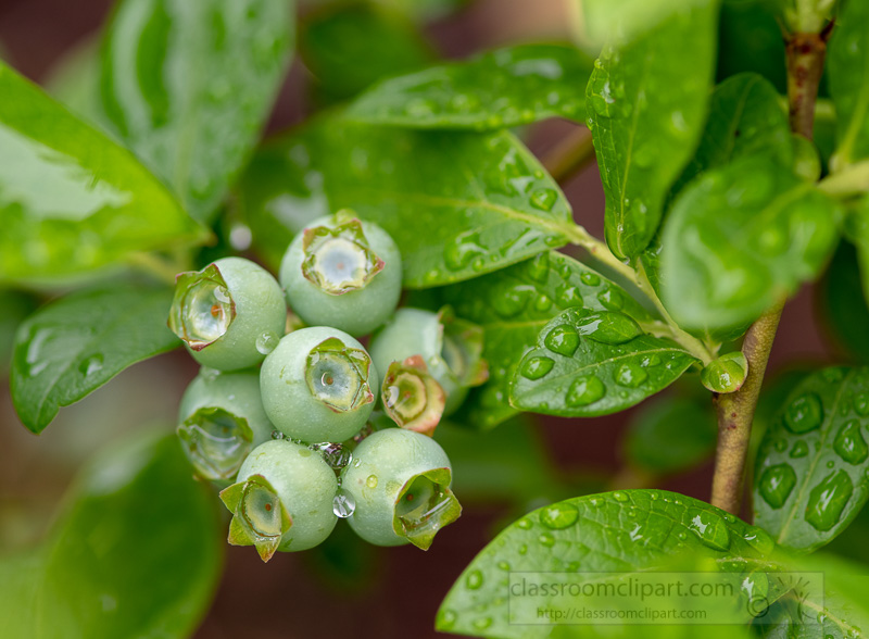 photo-cluster-of-unripe-blueberries-with-raindrops-image_8505579.jpg