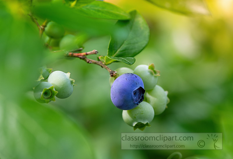 photo-of-single-ripened-blueberry-on-bush_5800-Edit-Edit-Edit.jpg
