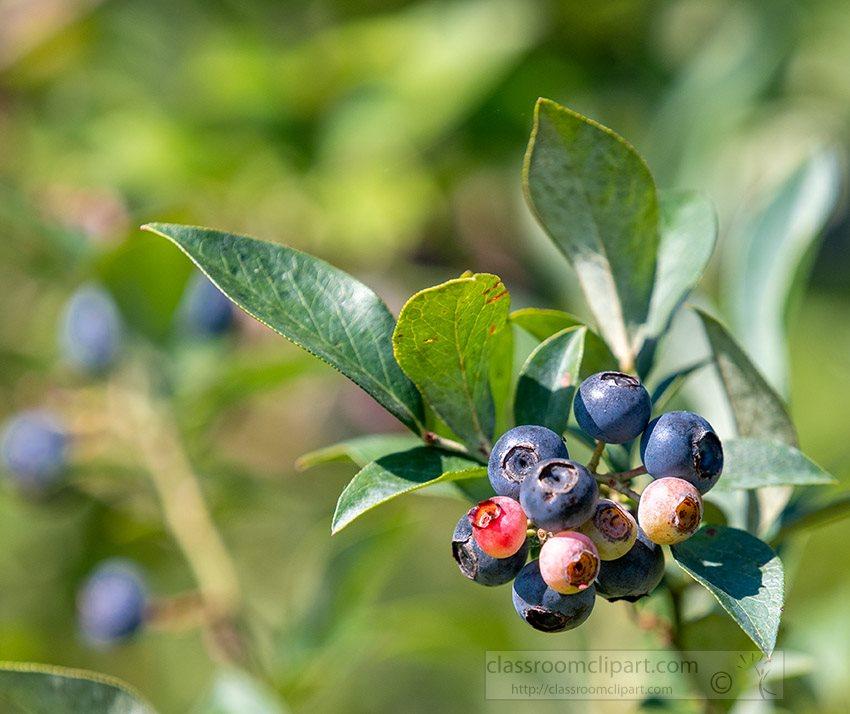 ripening-bluberries-on-a-bush-755a.jpg