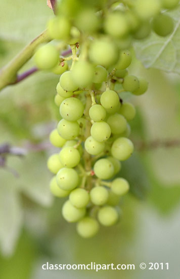 grapes-8432A.jpg
