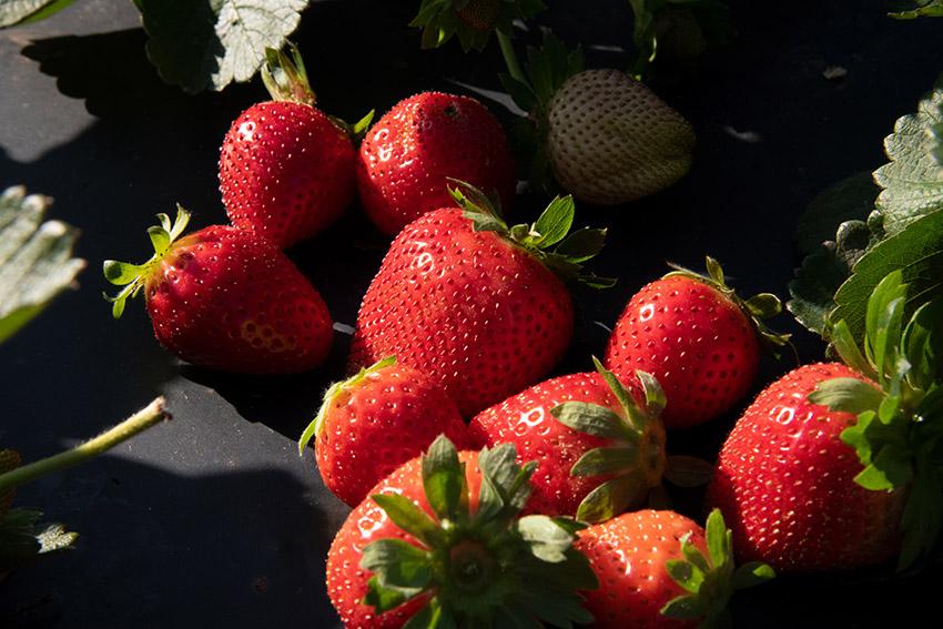 freshly-picked-strawberries-in-field.jpg