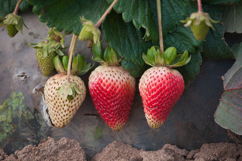 strawberries-in-field-at-various-ripening-phases.jpg