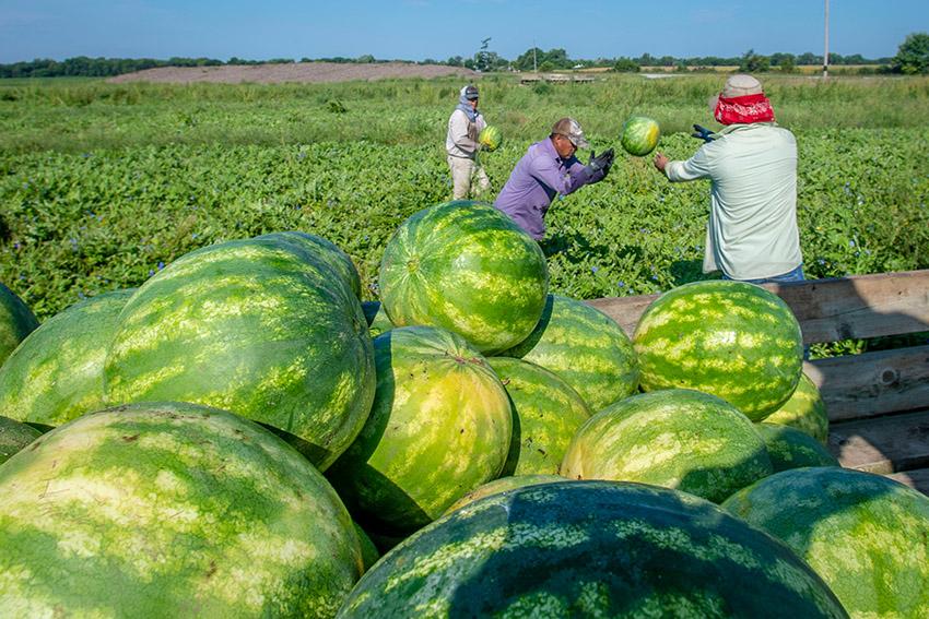 workers-harvest-watermelon.jpg