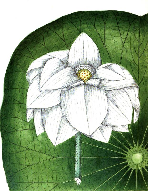 2-Alotus-lily-nelumbiaceae .jpg