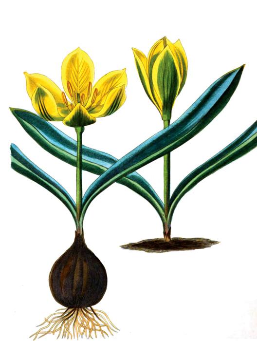 40A_flower_illustration.jpg