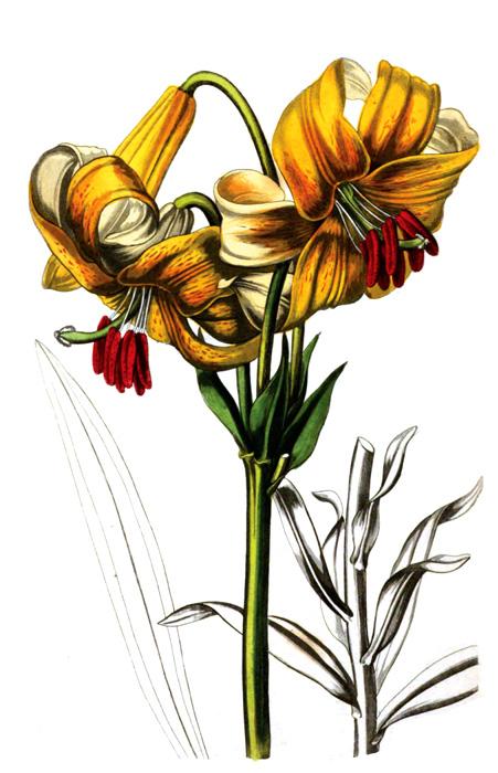 55A_flower_illustration.jpg
