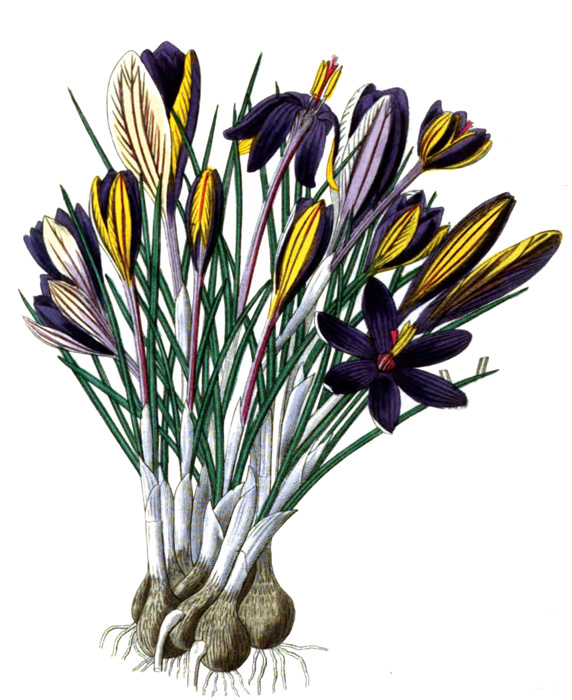 60A_flower_illustration.jpg