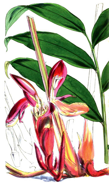 botanical_plant_11A.jpg