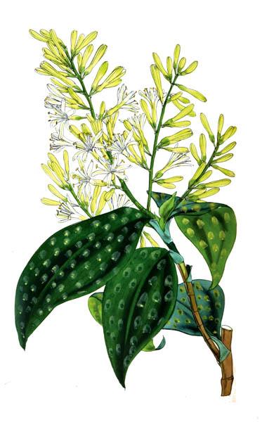 botanical_plant_35A.jpg