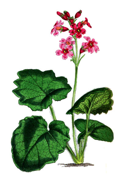 botanical_plant_46A.jpg