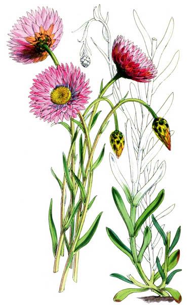 botanical_plant_49A.jpg
