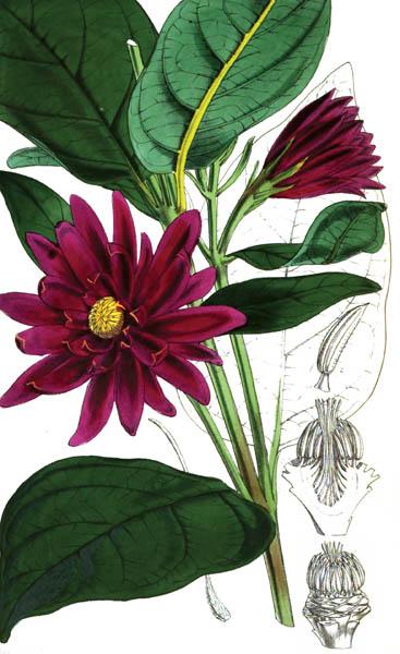 botanical_plant_56A.jpg