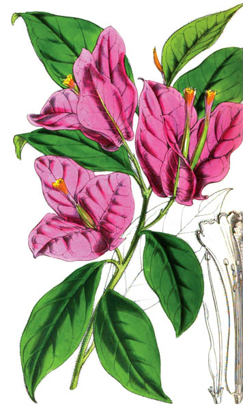 botanical_plant_pink_flower_58A.jpg