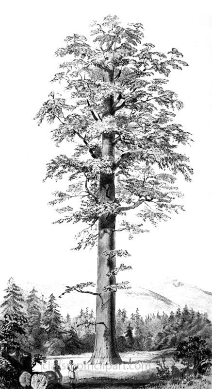 coniferous_tree_25A.jpg