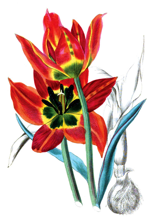 early-flowering-tulip_36A.jpg