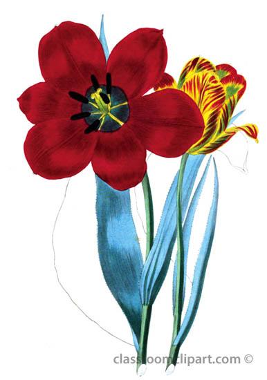 open-red-tulip_35A.jpg