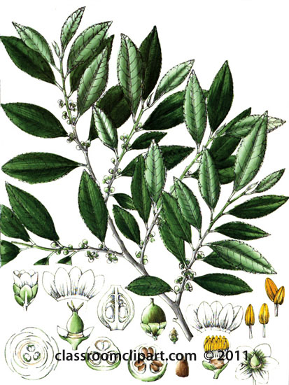 plant-illustration-047-A-ternstrcemiaceae.jpg