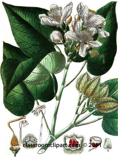 plant-illustration-ABixineae.jpg