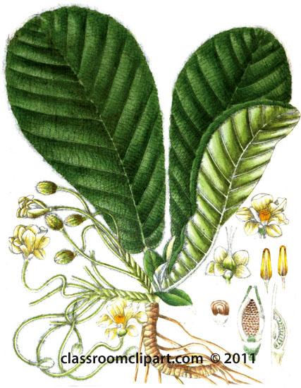 plant-illustration-Adillanacae.jpg