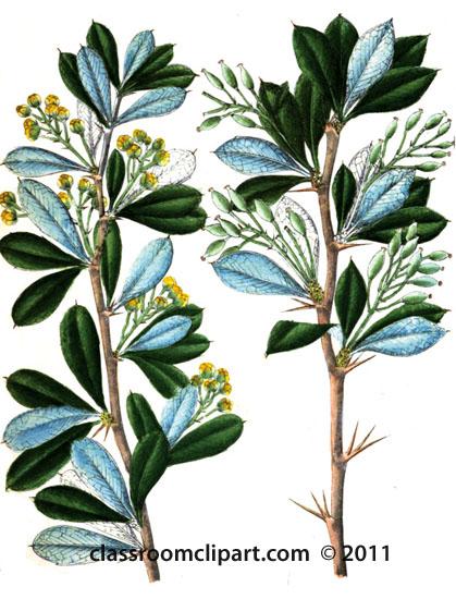 plant-illustration-Berberidaceae-B_1.jpg