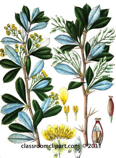 plant-illustration-Berberidaceae_1.jpg